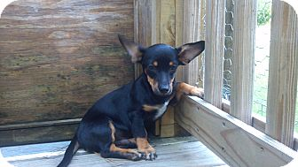 Chihuahua/Dachshund Mix Puppy for adoption in Jesup, Georgia - Ice