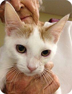 Domestic Shorthair Kitten for adoption in Schertz, Texas - Princessa