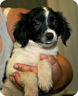 Border Collie Mix Puppy for adoption in Kalamazoo, Michigan - Clara