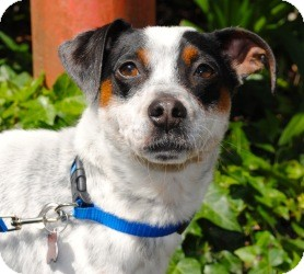Rat Terrier/Jack Russell Terrier Mix Dog for adoption in Encino, California - Polka Dot