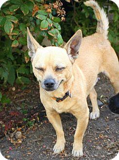 Chihuahua Mix Dog for adoption in Albert Lea, Minnesota - Milton