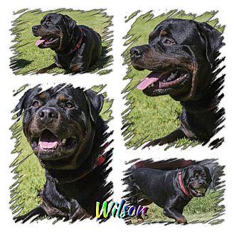 Rottweiler Dog for adoption in Gilbert, Arizona - Wilson