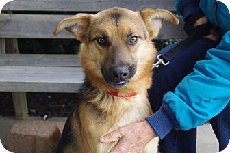 German Shepherd Dog Mix Dog for adoption in Elyria, Ohio - Whiz
