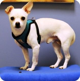 Chihuahua Mix Dog for adoption in Bellingham, Washington - Nikko