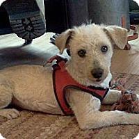 Adopt A Pet :: Osito (Little Bear) - Albuquerque, NM