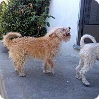 Adopt A Pet :: Sofi - Whittier, CA