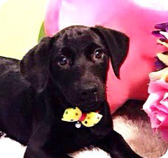 Labrador Retriever Mix Puppy for adoption in Castro Valley, California - Lacey