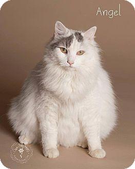 Turkish Van Cat for adoption in Scottsdale, Arizona - Angel