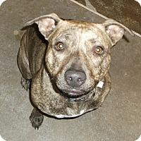 Adopt A Pet :: Simone - Geneseo, IL