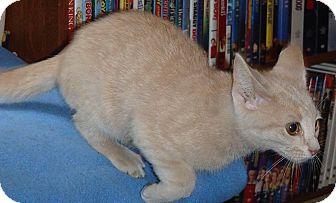 Domestic Shorthair Kitten for adoption in North Wilkesboro, North Carolina - Bonkers