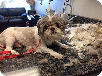 Shih Tzu Dog for adoption in Oak Ridge, New Jersey - Newton