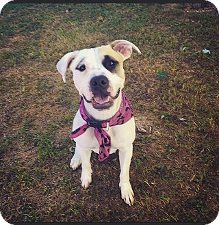 American Pit Bull Terrier Mix Dog for adoption in Columbus, Ohio - Ruby Tuesday (courtesy post)