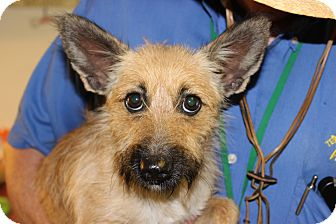 Cairn Terrier Mix Dog for adoption in Brattleboro, Vermont - Lady