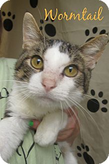 Domestic Shorthair Cat for adoption in Menomonie, Wisconsin - Wormtail