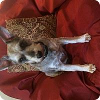 Adopt A Pet :: Badger - Crystal River, FL