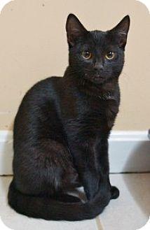 Domestic Shorthair Kitten for adoption in Medford, Massachusetts - Mindy