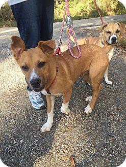 Labrador Retriever/Hound (Unknown Type) Mix Dog for adoption in Folsom, Louisiana - Finn II
