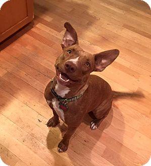 American Pit Bull Terrier Mix Dog for adoption in Gilbert, Arizona - SIENNA