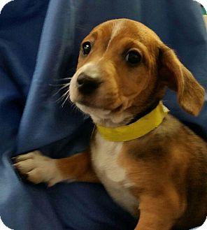 Labrador Retriever Mix Puppy for adoption in Ahoskie, North Carolina - Twiggs