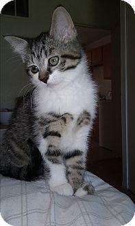 Domestic Mediumhair Kitten for adoption in Evans, West Virginia - Gerttie