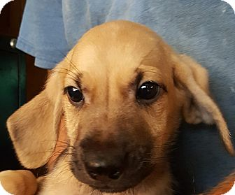 Basset Hound/Beagle Mix Puppy for adoption in Colonial Heights, Virginia - Kermit