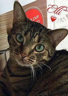 Domestic Shorthair Cat for adoption in Island Park, New York - Ellie