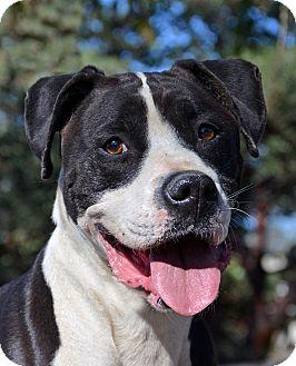 Boxer Mix Dog for adoption in Mountain Center, California - Atlas
