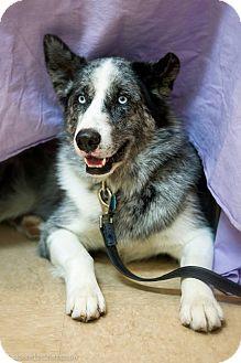 Australian Shepherd/Husky Mix Dog for adoption in Rigaud, Quebec - Yuki