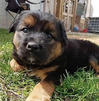 Shar Pei/Husky Mix Puppy for adoption in Winnipeg, Manitoba - Bernard