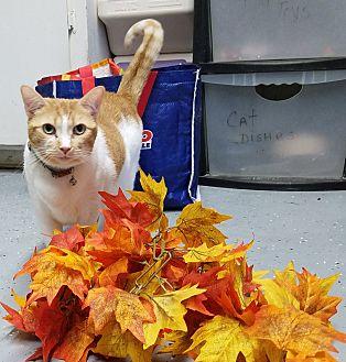 Domestic Shorthair Cat for adoption in Phoenix, Arizona - MiaoMiao
