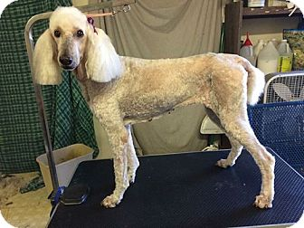 Standard Poodle Dog for adoption in Beverly Hills, California - DELPHINE ROCCOFFORT DE VINNIER