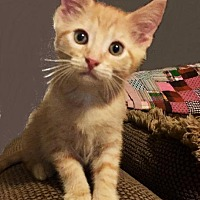 Adopt A Pet :: Pork Chop - Little Rock, AR