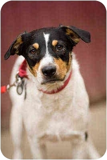 Australian Shepherd Mix Dog for adoption in Portland, Oregon - Cash