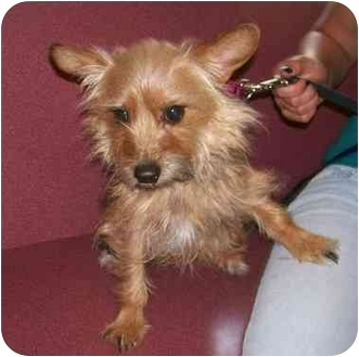 Yorkie, Yorkshire Terrier/Silky Terrier Mix Dog for adoption in Oak Ridge, New Jersey - Kimmy