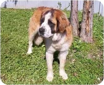 St. Bernard Dog for adoption in Flint, Michigan - Betsy
