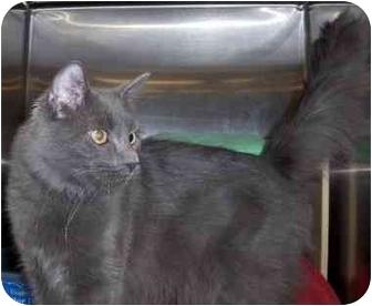 Russian Blue Cat for adoption in Overland Park, Kansas - Stephen