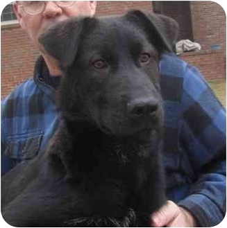 Labrador Retriever/Irish Wolfhound Mix Dog for adoption in Glenburn, Maine - Treston