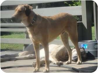 Labrador Retriever Mix Dog for adoption in Winder, Georgia - *Brody