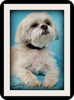 Shih Tzu/Maltese Mix Dog for adoption in Pascagoula, Mississippi - Ziggy