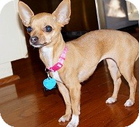 Chihuahua Mix Dog for adoption in AUSTIN, Texas - FOXY SOX