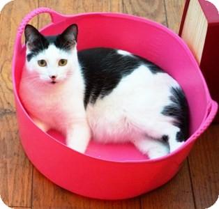 Domestic Shorthair Cat for adoption in Castro Valley, California - Apollo