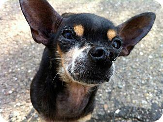 Chihuahua Dog for adoption in Santa Barbara, California - Dory