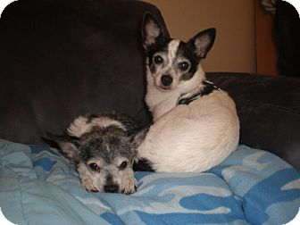 Chihuahua/Terrier (Unknown Type, Small) Mix Dog for adoption in Salem, Oregon - Chelsea and Lucy