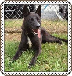 German Shepherd Dog Mix Dog for adoption in Marietta, Georgia - MORGAN