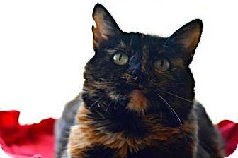 Domestic Shorthair Cat for adoption in Buena Vista, Colorado - Tori