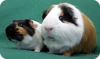 Guinea Pig for adoption in Lewisville, Texas - Timothy and Freddy