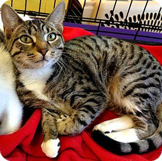 Domestic Shorthair Kitten for adoption in Seminole, Florida - Rizzoli