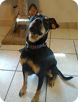 Rottweiler/Shepherd (Unknown Type) Mix Dog for adoption in Edmonton, Alberta - Duke