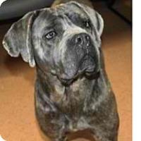 Adopt A Pet :: Bella - Shirley, NY