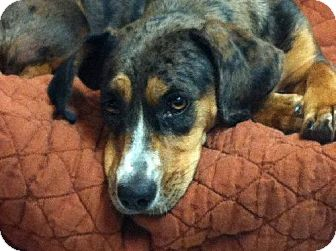 Dachshund/Beagle Mix Dog for adoption in The Woodlands, Texas - Lucy